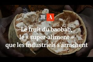 Le fruit du baobab, le « super-aliment » que les industriels s'arrachent